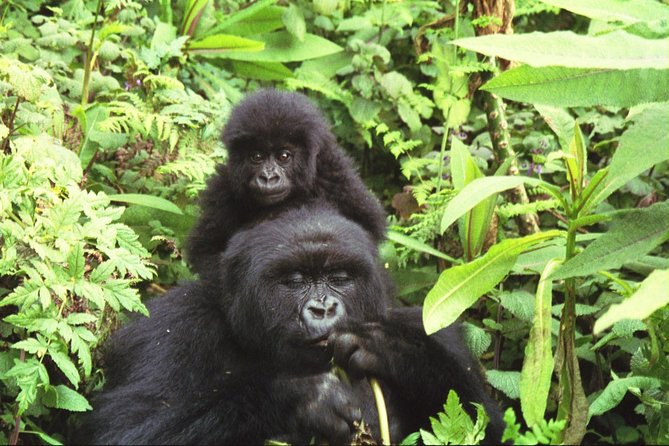 Safari to Bwindi Impenetrable Forest and Queen Elizabeth National Parks