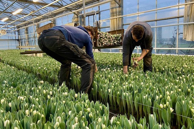 Tulip Farms - Behind the Scenes - Private Experience incl. pick-up in the region
