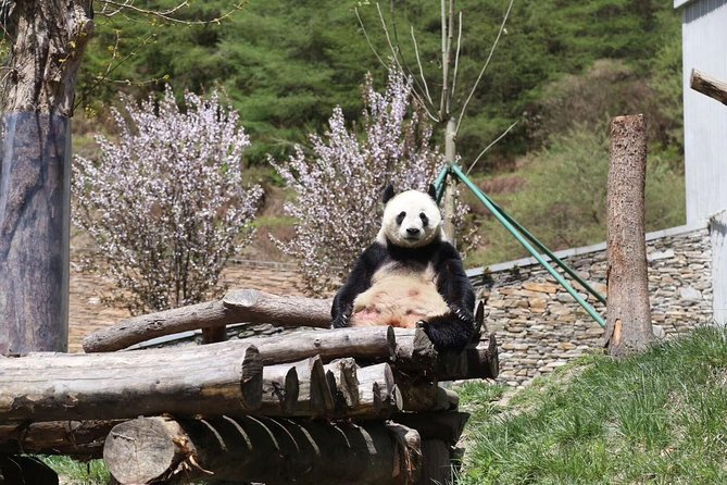 1-Day Self-Guided Dujiangyan Tour: Panda Volunteer Program and Mount Qingcheng