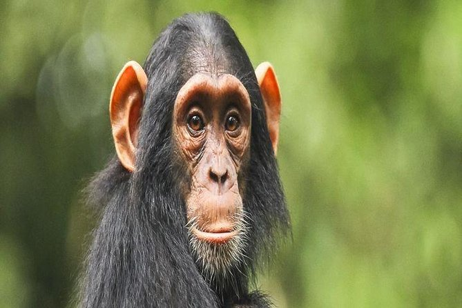 1 Day Chimpanzee Tracking Experience in Kibale National Park