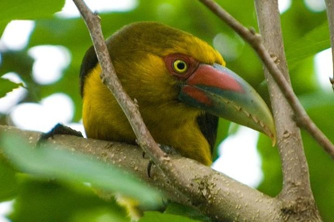 Saffron Toucanet, known to the indigenous Mbyá as the