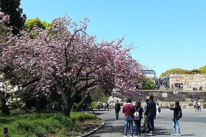 Cherry Blossom highlight, Asakusa, Ueno, Imperial palace & Tsukiji fish market
