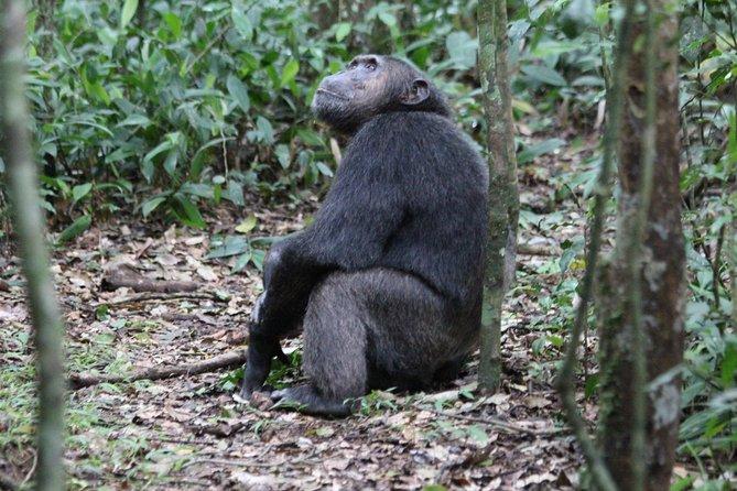 3 days Chimpanzee tracking Kibale Uganda