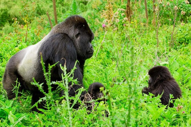1 day Safari in Rwanda with gorilla