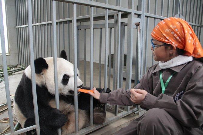Full Day Panda Volunteer Experience in Dujiangyan Panda Base