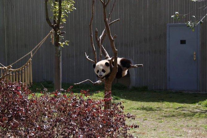 Chengdu Panda Base and Drop off Shuangliu International Airport(CTU) Day Tour