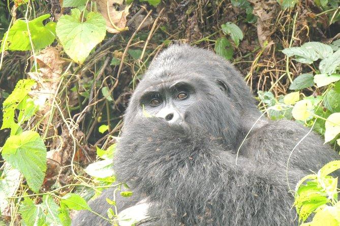 5 Day Bwindi Gorilla Trekking and walking Safari via Kigali Rwanda
