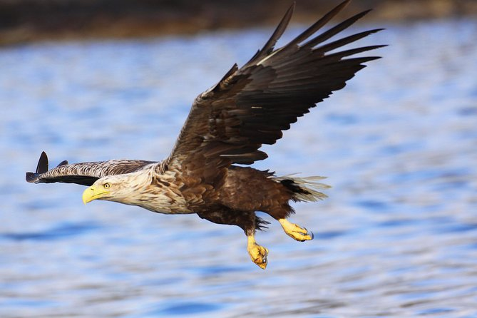 The sea eagle is our biggest bird of prey. 35% of Norway's sea eagle stock is accomodated in Nordland, making it the perfect place to go on a sea eagle safari.