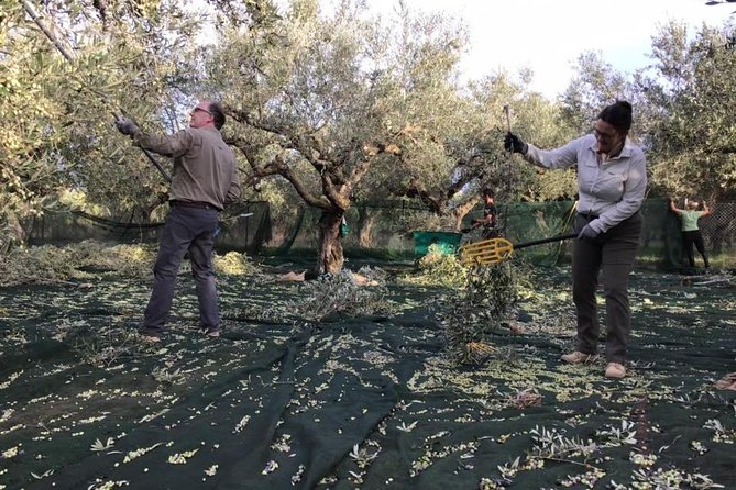 Olive harvesting, walking in olive groves & light lunch in Messinia, Greece!