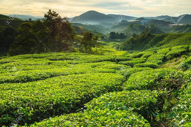 Full Day Cameron Highlands Garden of Nature Tour from Kuala Lumpur
