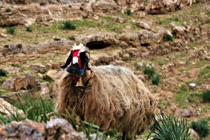 Learn How to herd sheep in Madaba