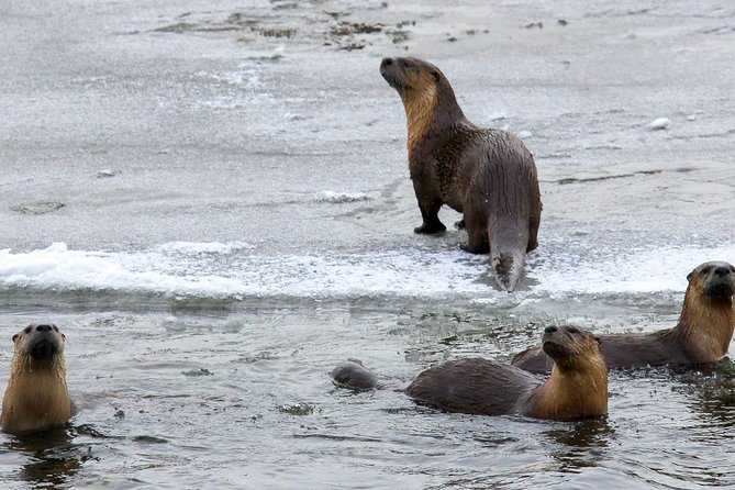 Playful Otters can be found