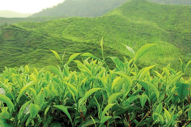 Tea Plucking & Tea Factory Tour
