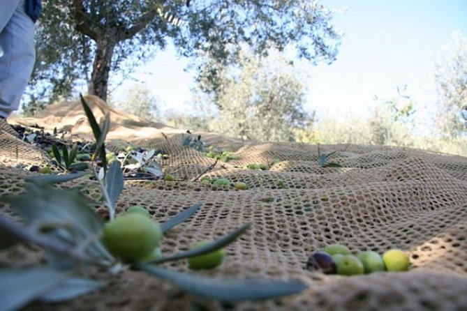 3 days of Olive Camp in Organic Estate in Chianti hills