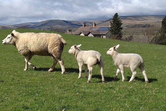 Sheep on the North York Moors