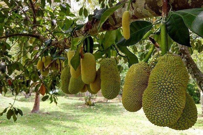 Tropical fruit Nangka, (Jackfruit) @Mardi Agropark