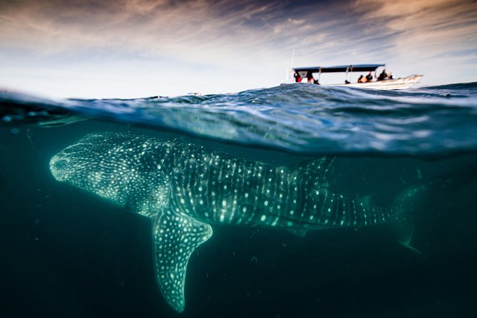 Whale Shark snorkeling at La Paz guided by a local marine biologist