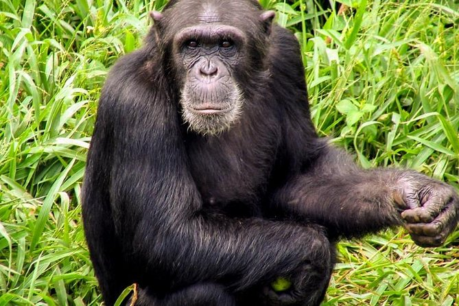 1 Day Chimpanzee Tour of Ngamba Island