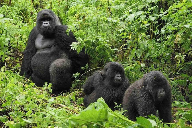 Gorilla Tracking Full Day Tour from Kigali