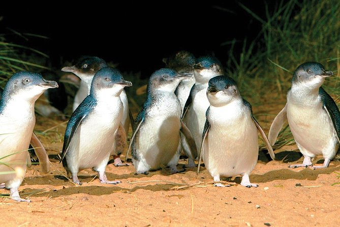 Phillip Island Penguin and wildlife Tour