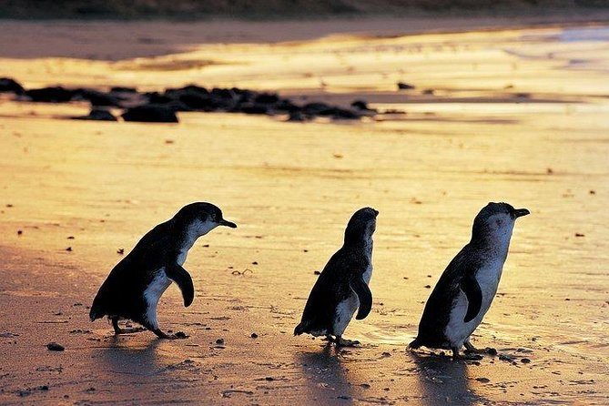 Phillip Island Penguin and wildlife Tour
