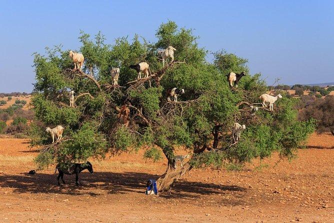 Tree-climbing Goats in Agadir