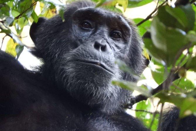 08 days Classic Uganda Primate Tour