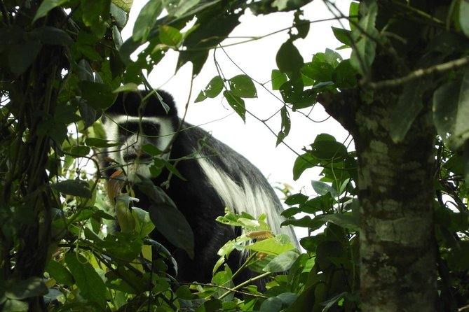 Black and whit colobus monkey in Kibale Forest national park
