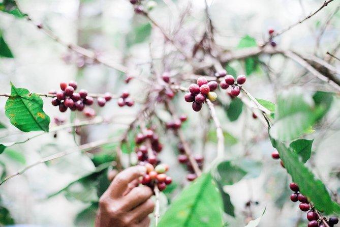 Antigua Coffee Farm Tour