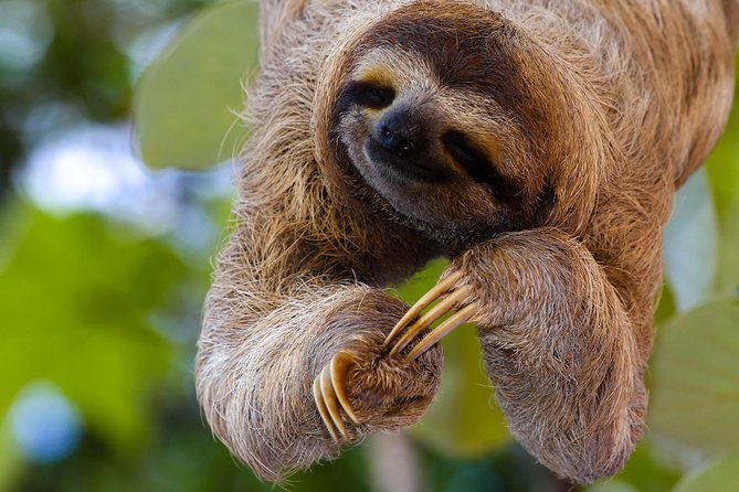 Sloths Lovers Tour. Shore Excursion from Puerto Limon