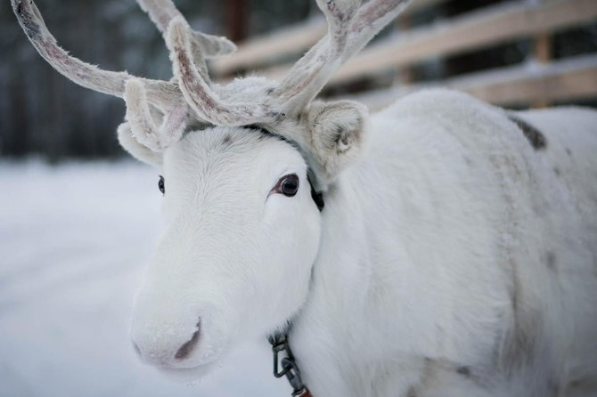 Lovely White Reindeer