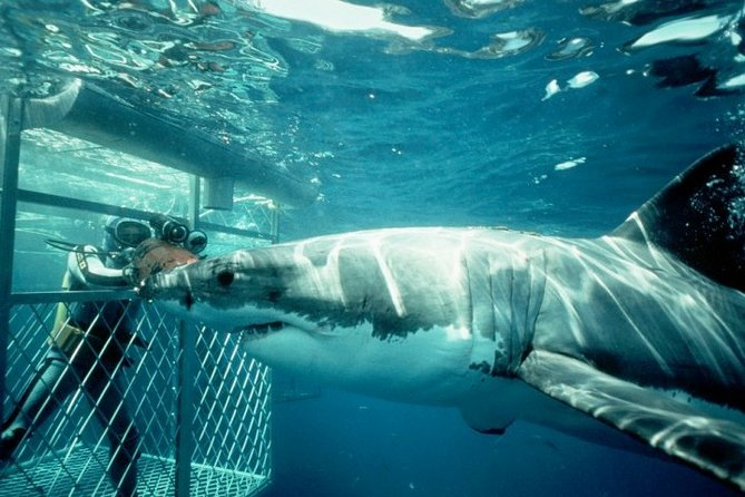 Full-Day Shark Cage Diving Tour in Gansbaai