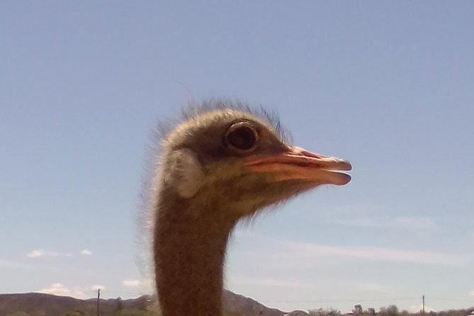 Oudtshoorn Ostrich ranch