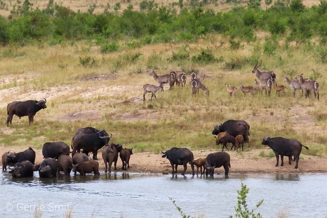 Waterbuck waiting their turn as the Buffaloes enjoy the water.