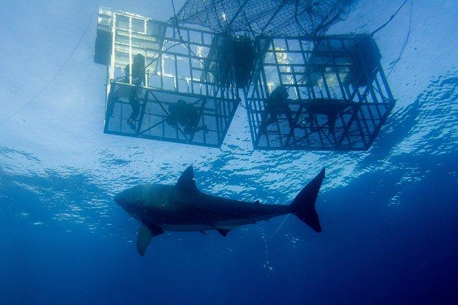 Durban: Shark Cage Diving at Aliwal Shoal with Tiger & Ragged Tooth Sharks