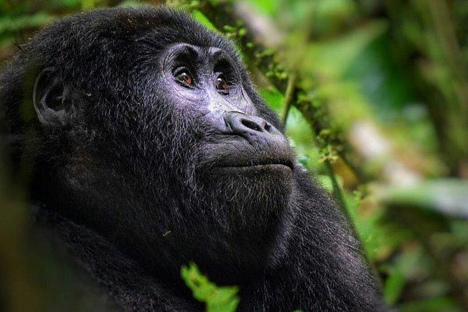3 Days Gorilla Trekking Bwindi Uganda