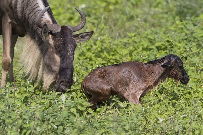 7 Days Wildebeest Migration - Ndutu Calving Season
