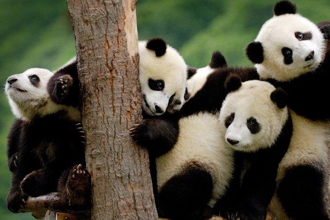 Private Panda Base and Leshan Buddha Day Tour from Chongqing
