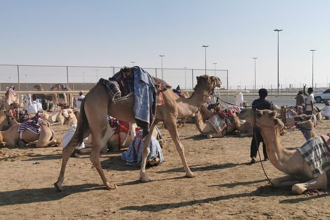 Half-Day Private Guided Camel Race Tour in Qatar
