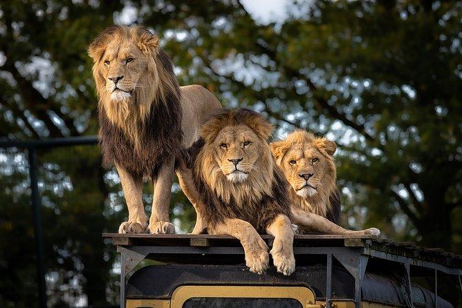 Lions on top of tour van