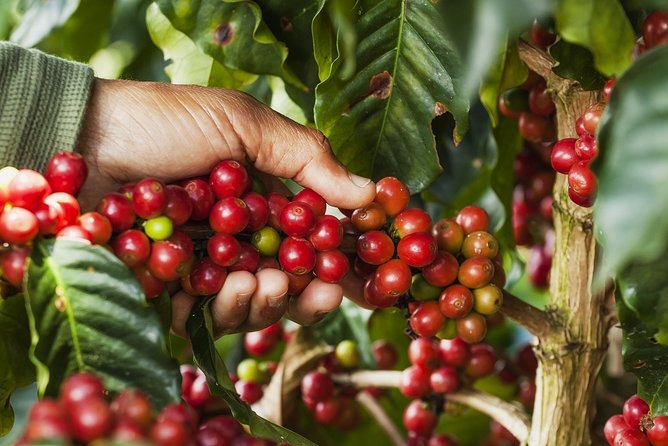 Doka Estate Coffee Tour & La Paz Waterfall Gardens. Private Tour