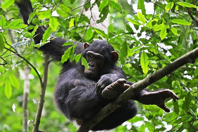 Experience Chimpanzee Trekking in Budongo Forest