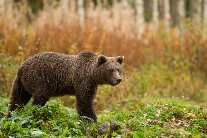 Bear Watching in Lentiira, Finland