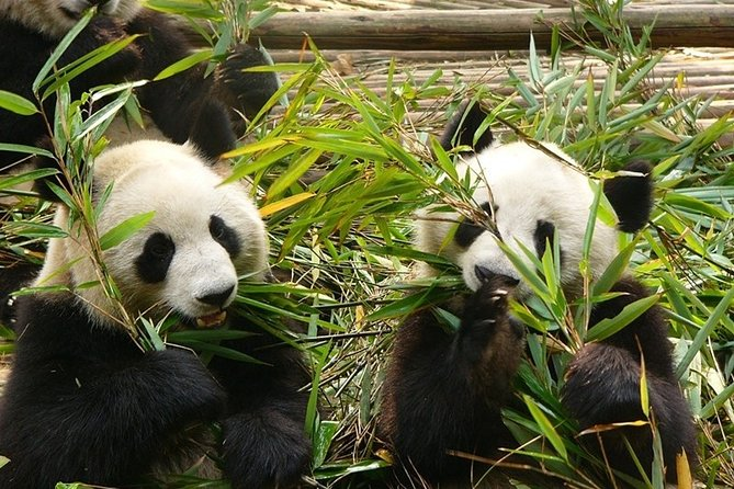 Private Day Tour: Chengdu Panda Base and Leshan Grand Buddha