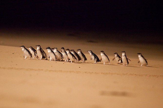 Phillip Island Penguin Parade Express Tour from Melbourne