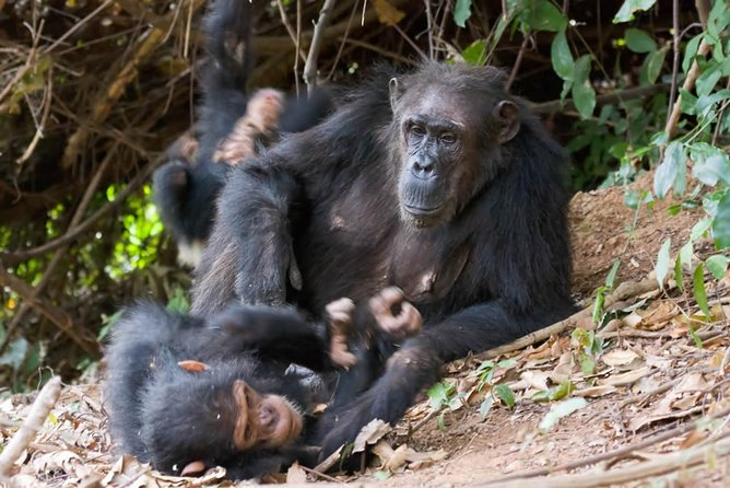 3 Day Chimpanzee Trekking in Gombe Stream National Park