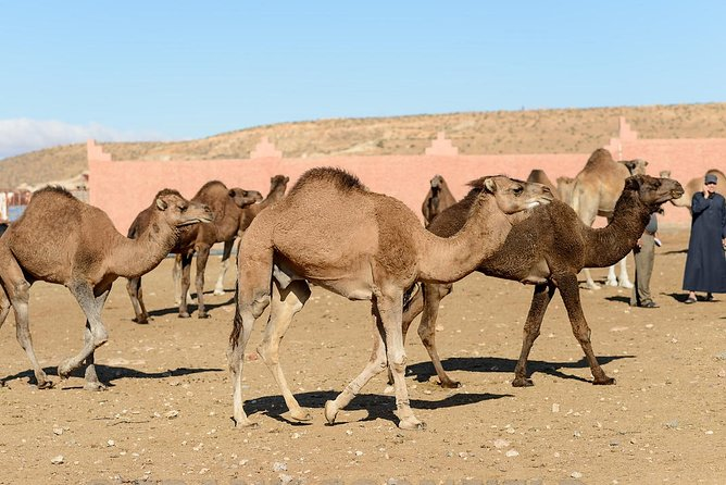 Visit weekly Camel Market