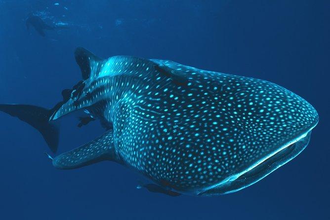 Private Tour Whale Shark Swim Adventure in Cancun