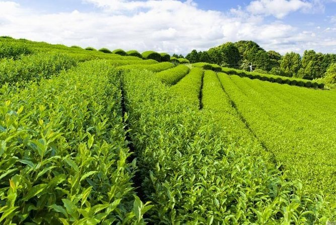 Chengdu Pujiang Tea Picking & Making One Day Tour