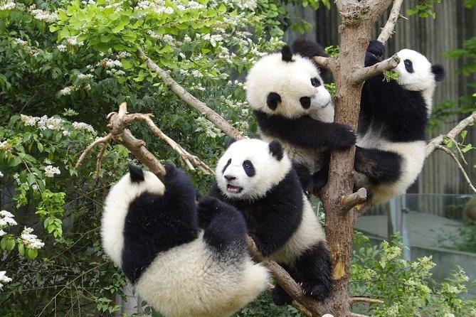 Private Full Day Chengdu Panda Base and Jinsha Site Museum Tour